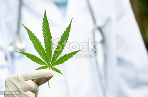 936410150istockphoto cannabis medical leaves, cannabis hemp leaf outdoors, medicinal agricultur. 1158309953