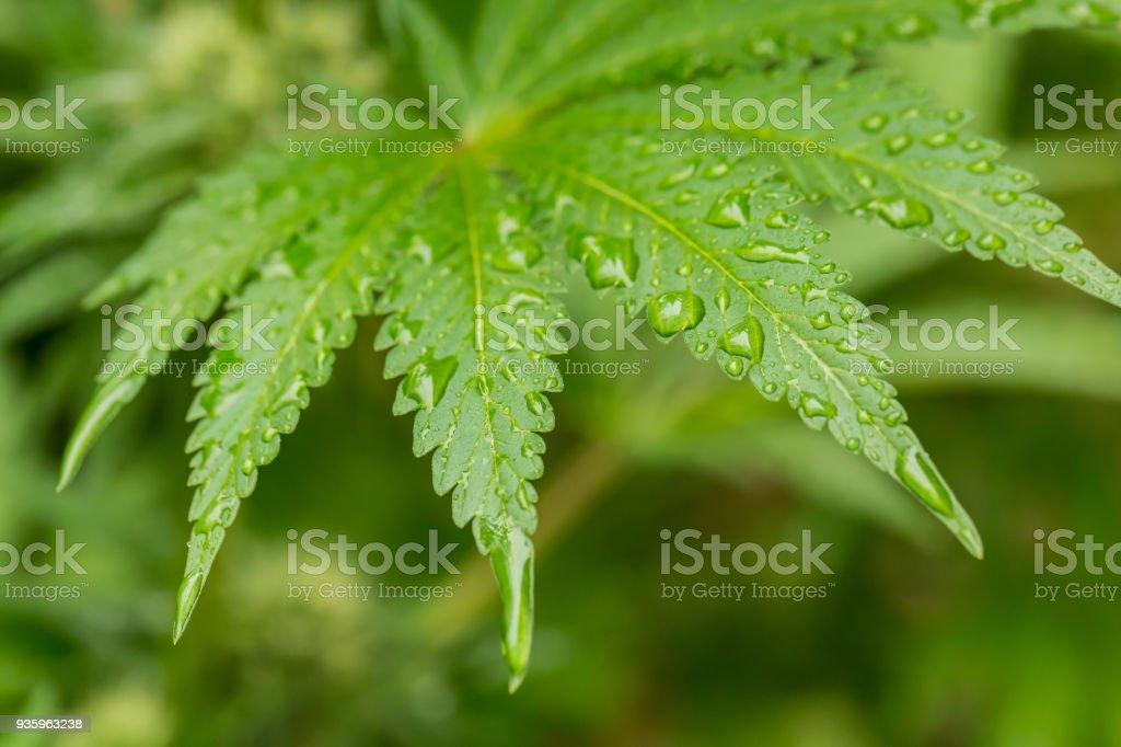 Cannabis Medical Marijuana leaf growing on a plant stock photo