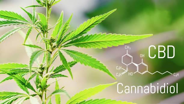 Cannabis of the formula CBD, Cbd oil. Hemp industrial plantation. Cannabis plant growing outdoors, lit by warm morning light. Cannabidiol medical marijuana concept stock photo