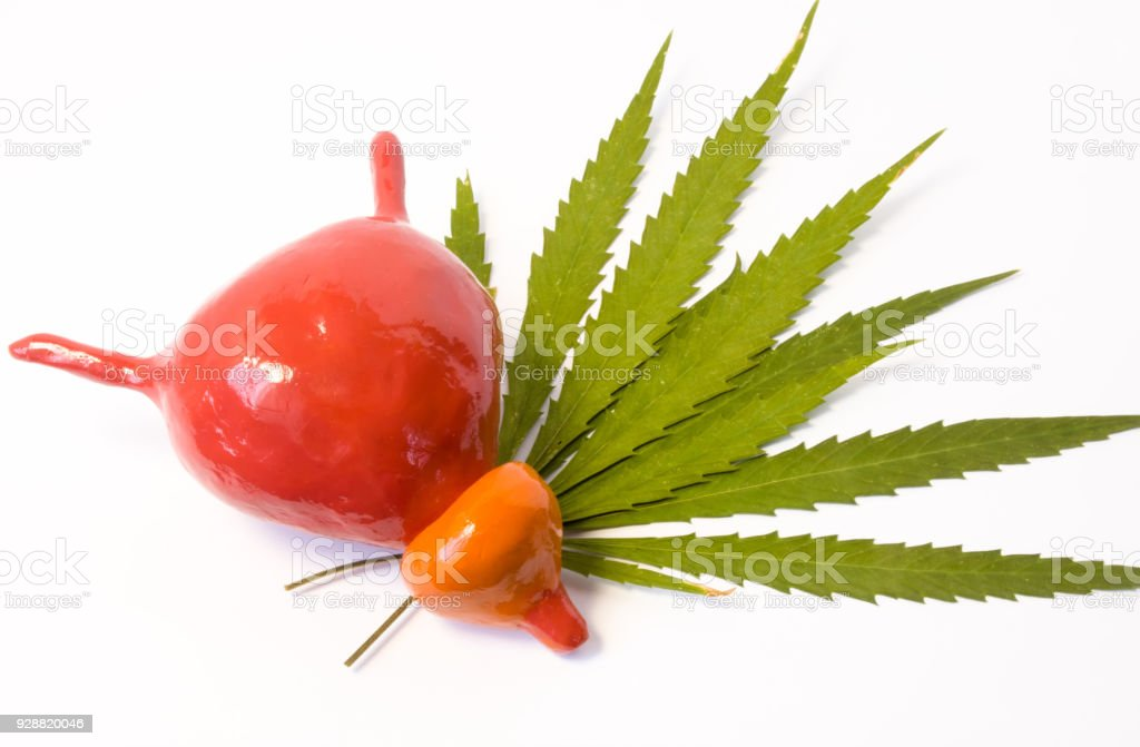Cannabis or marijuana and bladder with prostate. Anatomical model of urine bladder and prostate lies on green leaves of cannabis plant. Effect of marijuana on urinary bladder and prostate function stock photo