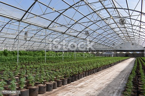 Cannabis in a greenhouse