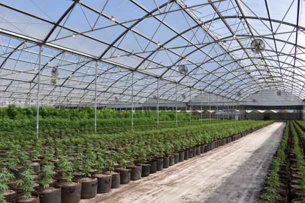 cannabis - glass house stockfoto's en -beelden