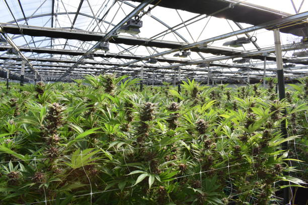 Cannabis Commercial cannabis greenhouse marijuana stock pictures, royalty-free photos & images