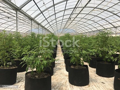 Cannabis marijuana in a greenhouse