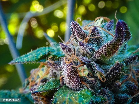 A close up shot of a cannabis flower featuring tricombs and pistols backed by natural sunlight.