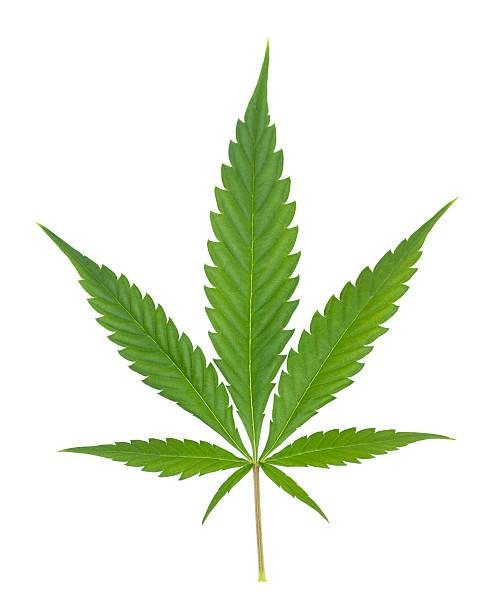 cannabis - hanfblatt stock-fotos und bilder