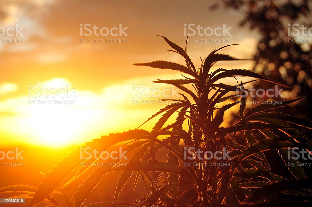 Cannabis plant at sunrise stock photo