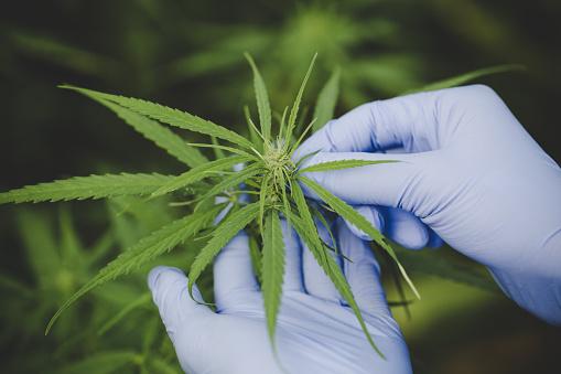 835508564 istock photo Cannabis plant bud in hand close up. Farmer examination marijuana (Cannabis sativa) flowering cannabis plant and bud, alternative herbal medicine concept 1180514971