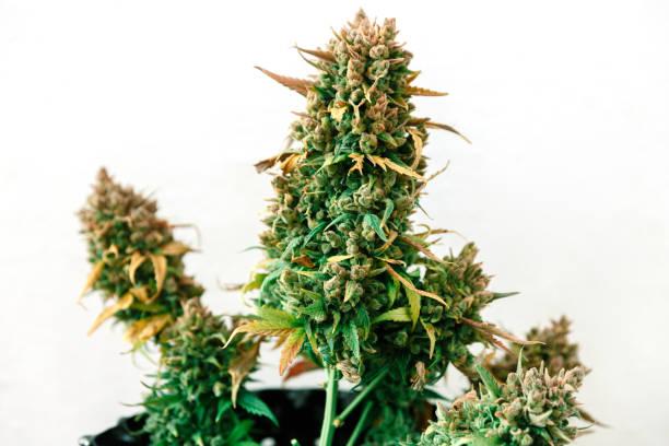 cannabis-pflanze wächst in einem topf mit späten blüten erntereif - spanische rezepte stock-fotos und bilder