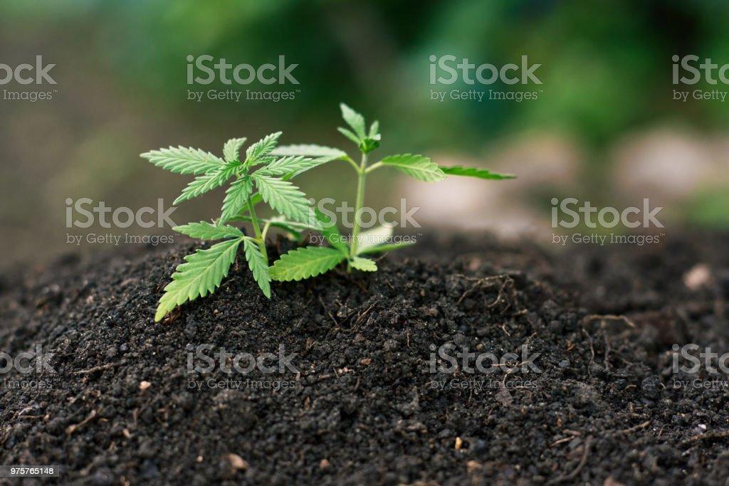 Cannabis-Pflanze wächst aus Boden, medizinische Hanf, Marihuana mit grün wenig Blätter. Konzept junge frisch geschnittene Ganja legal indoor Freizeit Farm - Lizenzfrei Agrarbetrieb Stock-Foto