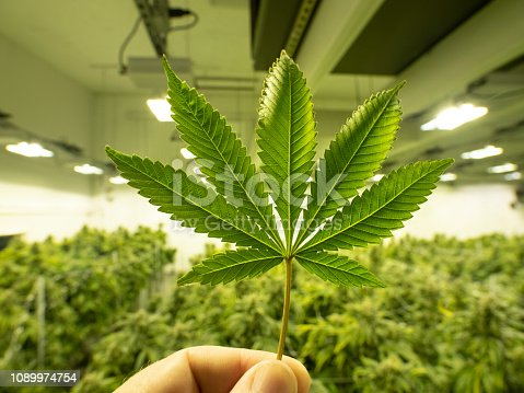 istock Cannabis Plant Leaf Hlding in Hand Commercial Growing Facility Marijuana Plants 1089974754
