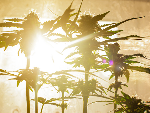 543350314 istock photo cannabis plant on the background of bright sunbeams of warm light 1199044369