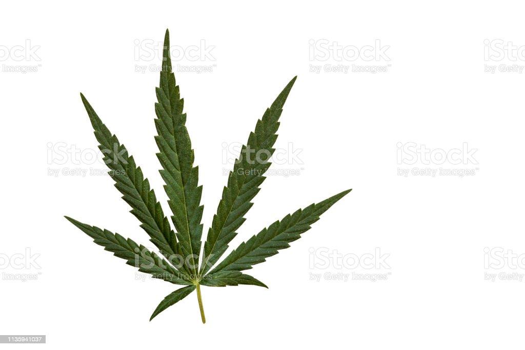 Cannabispflanze – Foto