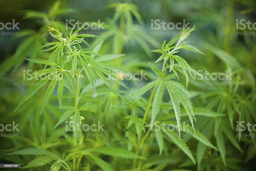 Cannabis plants background royalty-free stock photo