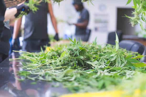 Cannabis-Pflanzen in einem wachsen beschnitten – Foto