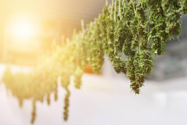 Cannabispflanzen trocknen im Sonnenlicht – Foto