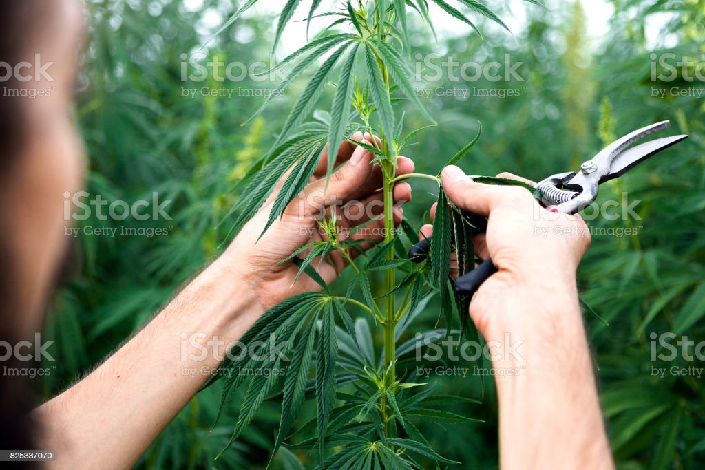 Cannabis plants exemination stock photo