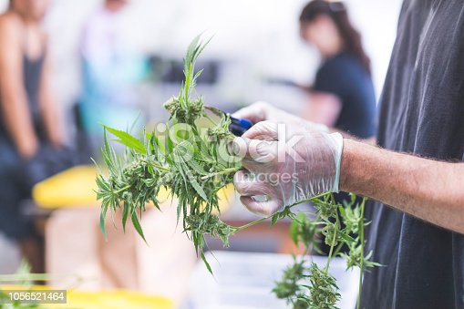 A crop of cannabis plants grow under artificial lights at a facility in Oregon. A man is pruning them in the foreground. He is wearing gloves and is visible from elbows to fingers. There are others in the background working.