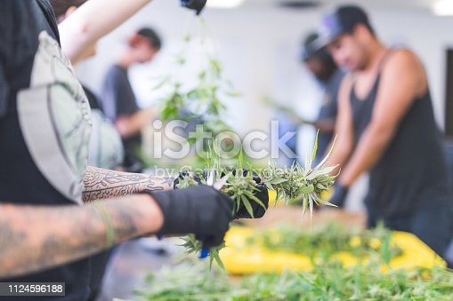 A crop of cannabis plants grow under artificial lights at a facility in Oregon. A man with tattoos is pruning them. He is wearing gloves and is visible from just below elbows to fingers. There are others in the background working.