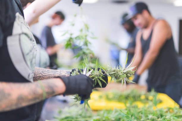 Cannabis plants grow under artificial lights A crop of cannabis plants grow under artificial lights at a facility in Oregon. A man with tattoos is pruning them. He is wearing gloves and is visible from just below elbows to fingers. There are others in the background working. shock tactics stock pictures, royalty-free photos & images