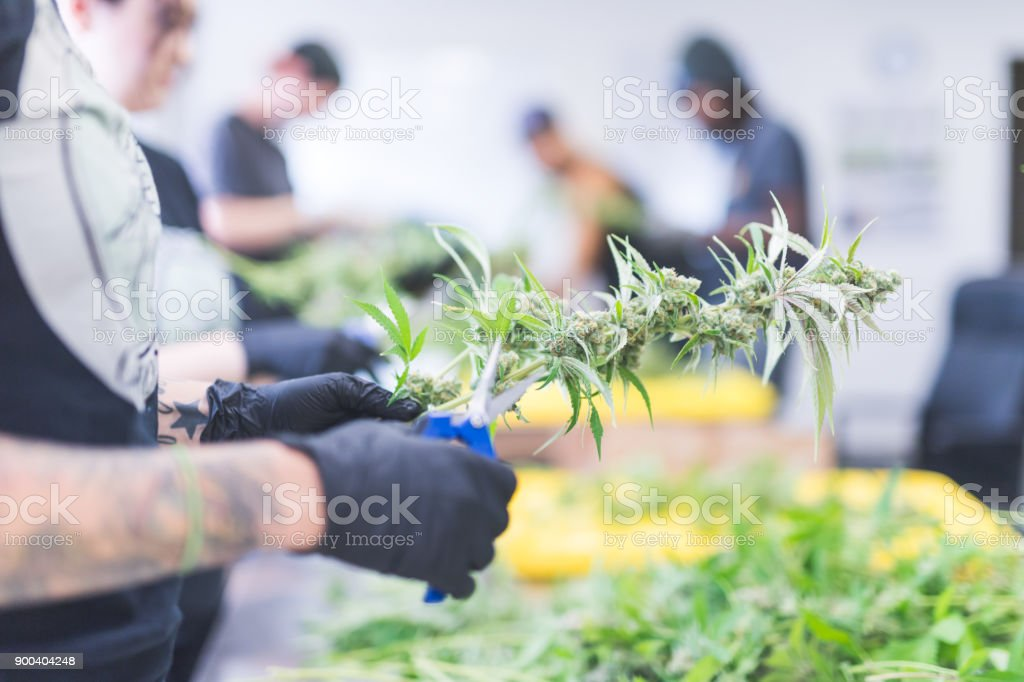 Cannabis plants grow under artificial lights stock photo