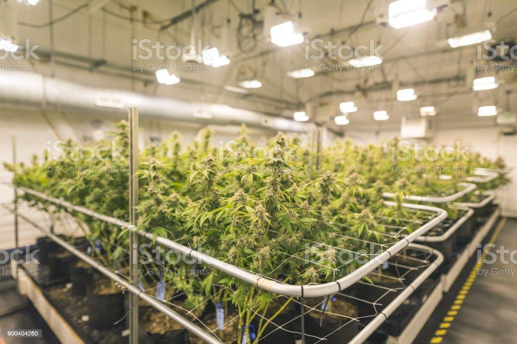 Cannabis plants grow under artificial lights stock photo