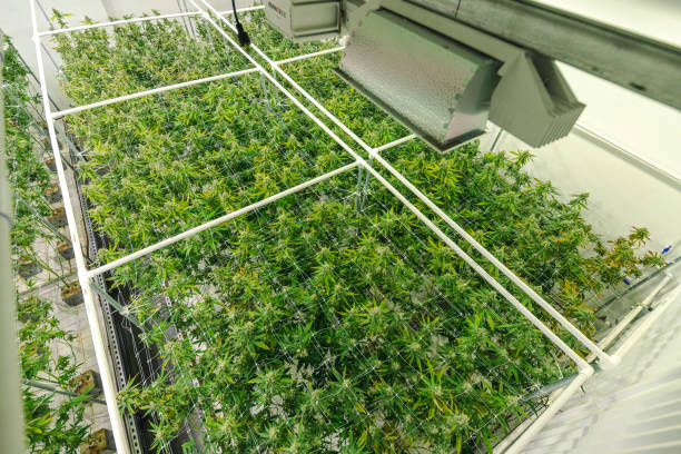 Cannabis Plants Growing at Indoor Government Sanctioned Marijuana Facility stock photo