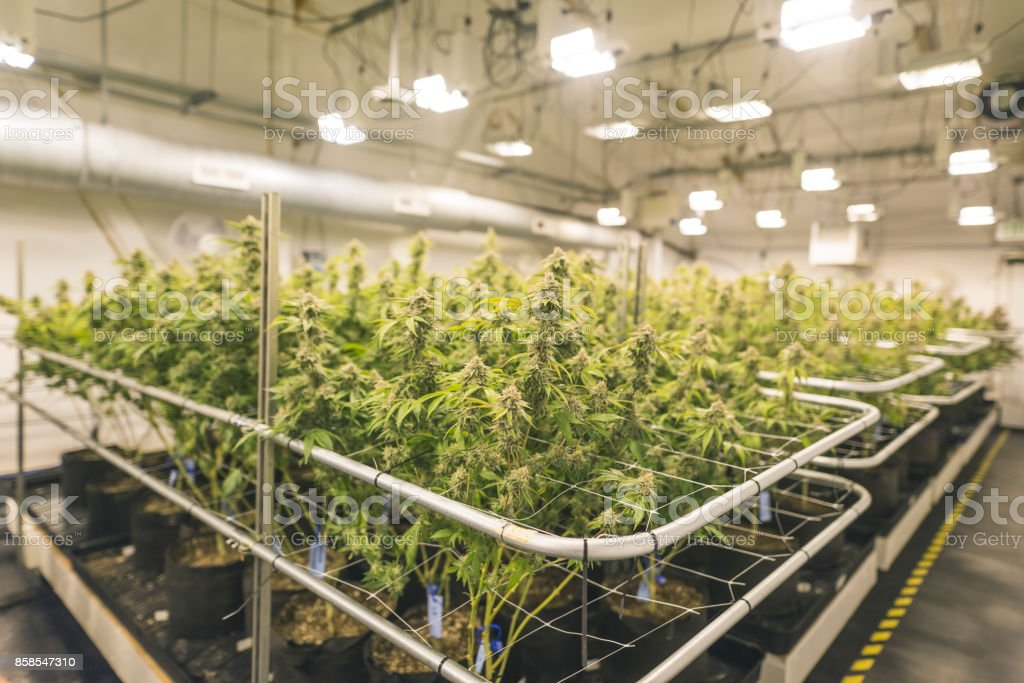 Cannabis plants growing under artificial lights in Oregon royalty-free stock photo