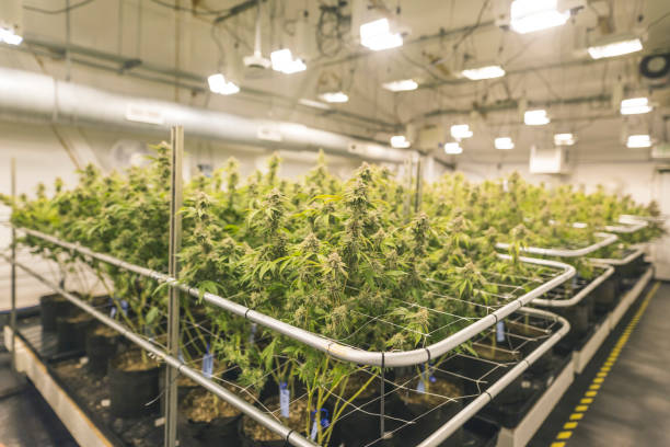 cannabis plants growing under artificial lights in oregon - marijuana cannabis foto e immagini stock