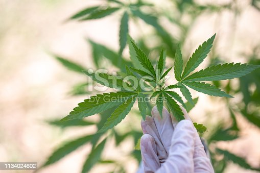 Cannabis research, Cultivation of marijuana (Cannabis sativa), flowering cannabis plant as a legal medicinal drug, herb, ready to harvest