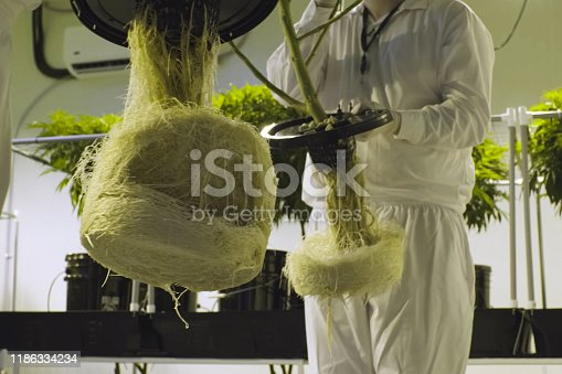 Cannabis roots in hydroponics, Cannabis cultivation in a legal garden.