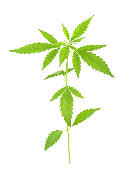 Royalty Free Weed Leaf Text Symbol Pictures Images And Stock Photos