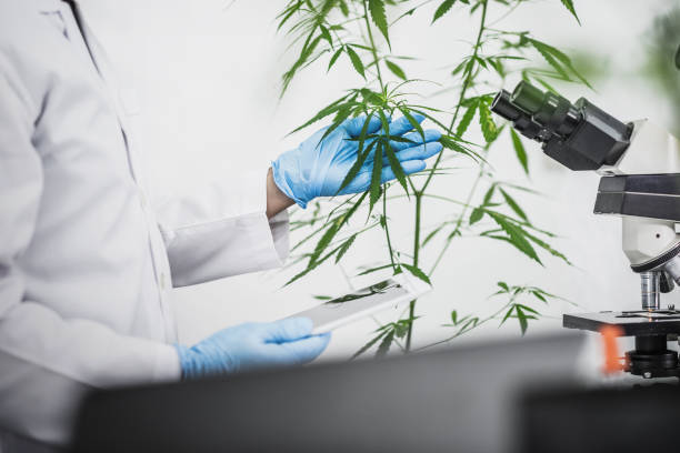 Cannabis Scientist uses microscope to research the benefits of marijuana in Medical and Recreational industries. stock photo