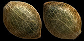 isolated cannabis seed
