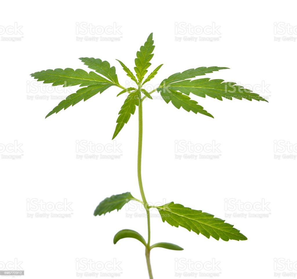 Cannabis Seedling stock photo