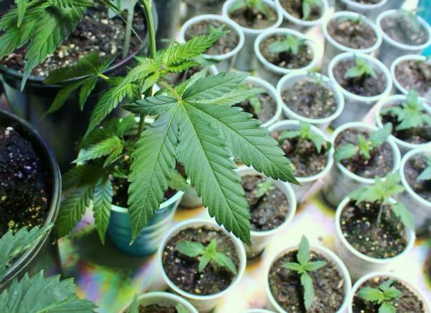 Cannabis seedlings horizontal stock photo