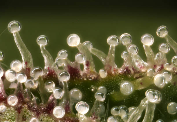 Cannabis Trichomes Macro photo of trichomes on a cannabis plant. plant trichome stock pictures, royalty-free photos & images