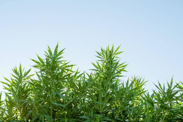 cannabis weed leaves - пенька стоковые фото и изображения