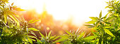 Cannabis With Flowers At Sunset - Sativa Medical Legal Marijuana