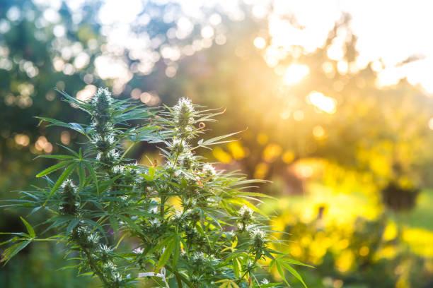 Cannabis_12 – Foto