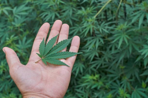 Cannabis_hand – Foto