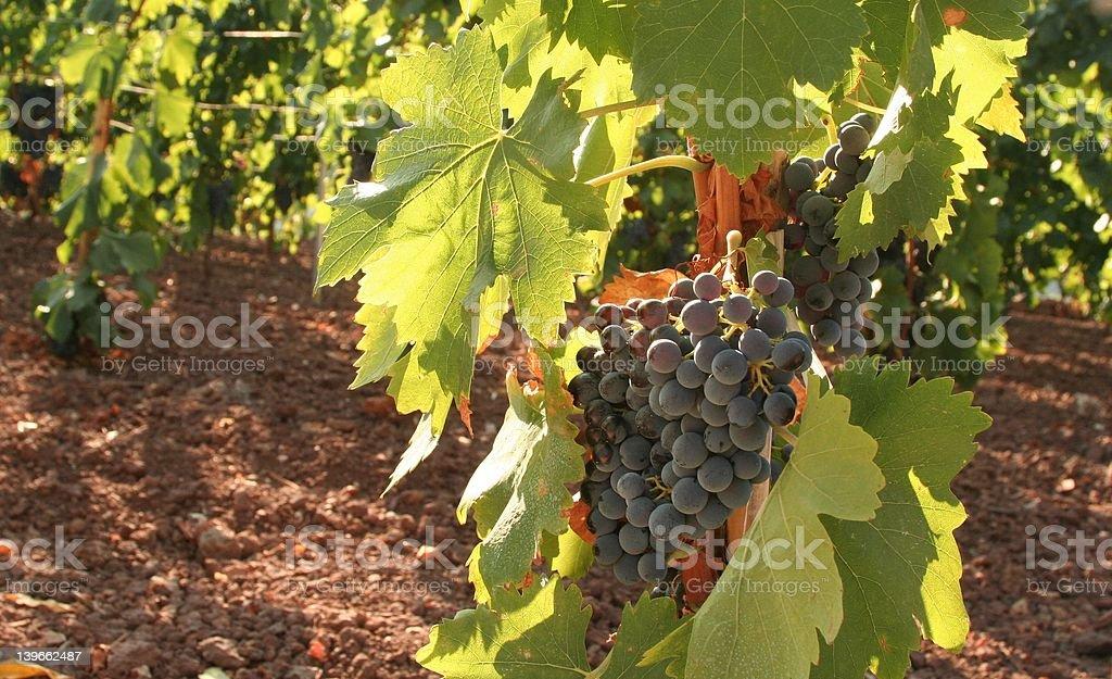 cannanou vineyard royalty-free stock photo