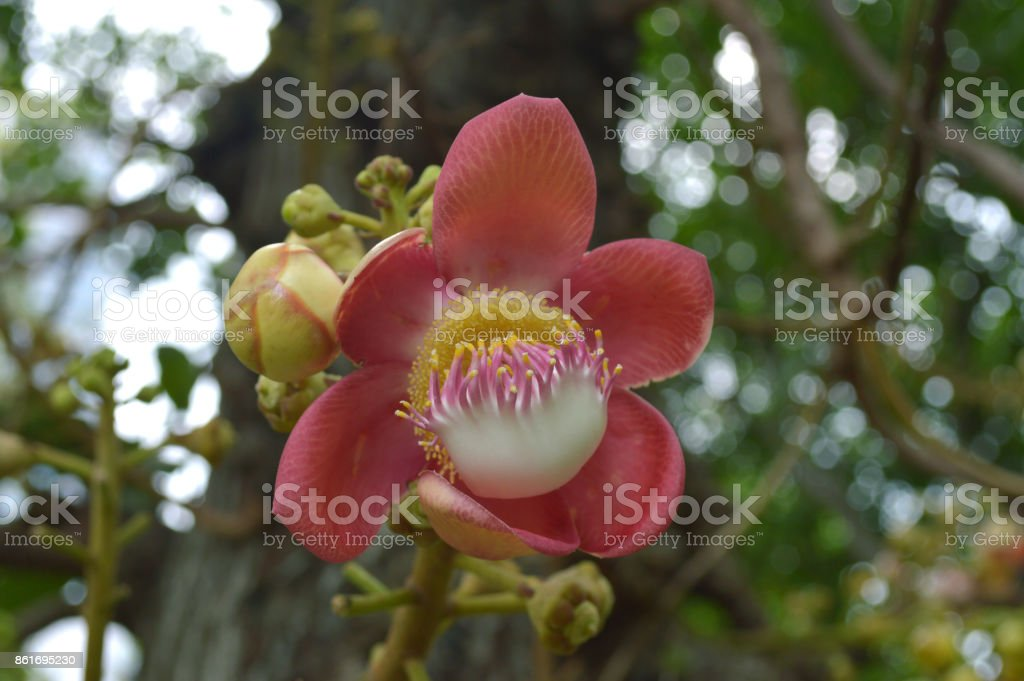 Cannonball tree flower stock photo
