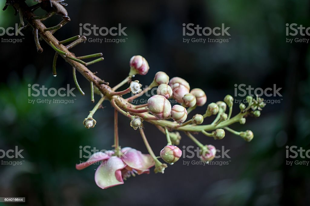 Cannonball tree, Sal Tree stock photo
