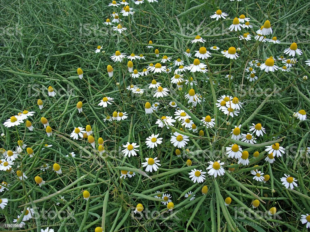 canola and camomile flowers royalty-free stock photo