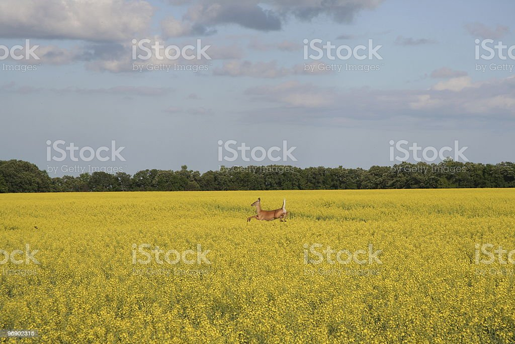 Canola and deer jumping royalty-free stock photo