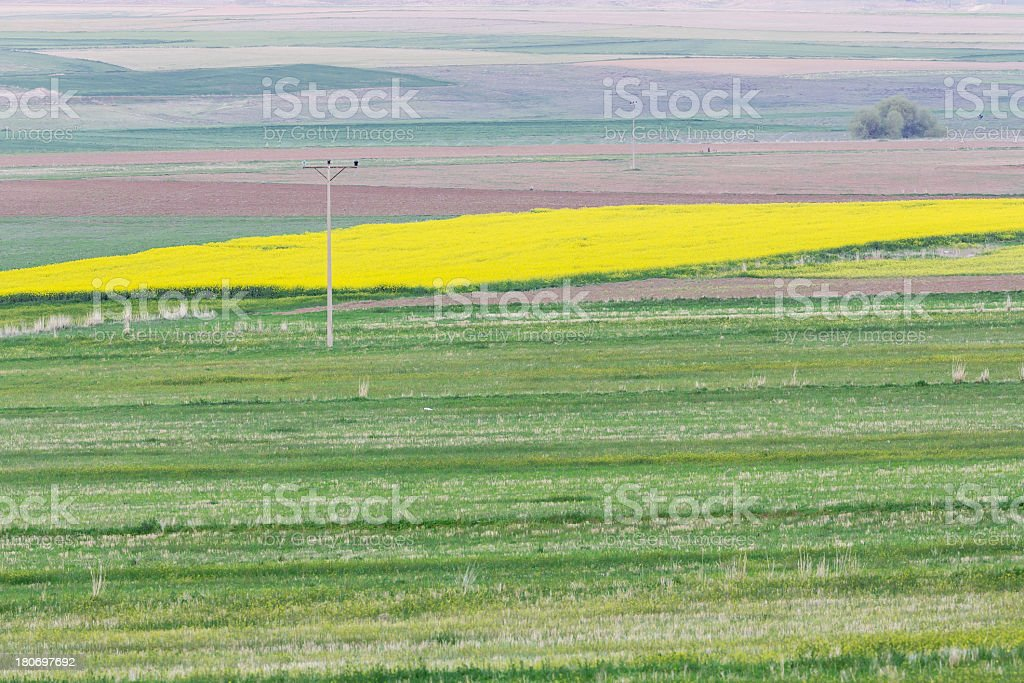 Canola and Green Field royalty-free stock photo