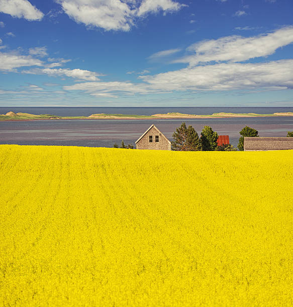 canola coast - prince edward island stock photos and pictures