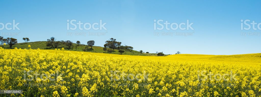 Canola crop growing in the country as a yellow carpet stock photo