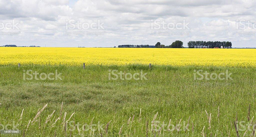 Canola Crop royalty-free stock photo